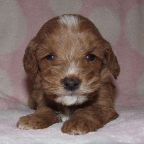 Goldendoodle For Sale In Tennessee Classifieds Buy And