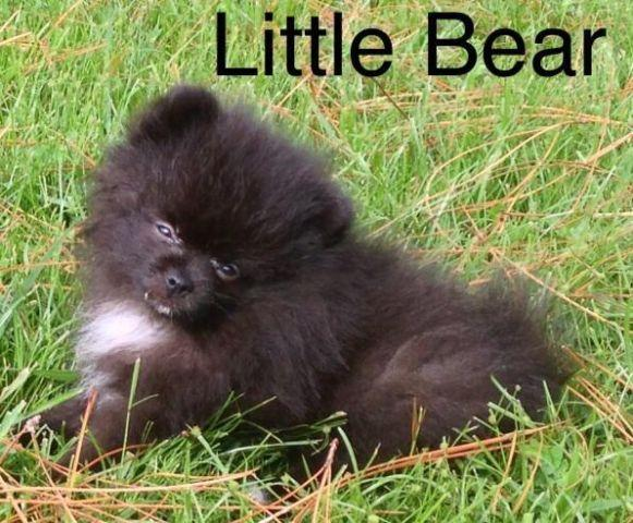 Teddy Bear Puppies For Sale In Florida Classifieds Buy And Sell In