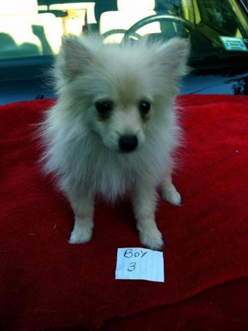 Pets And Animals For Sale In Williamson New York Puppy And Kitten