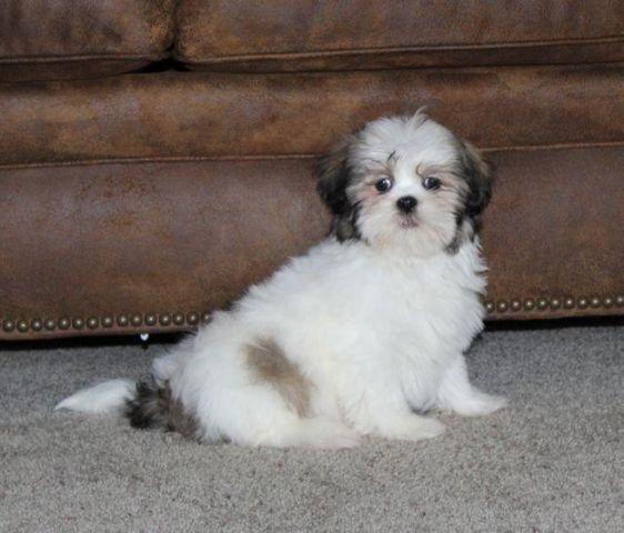 Teddy Bear Puppies Aka Shih Tzu Bichon For Sale In