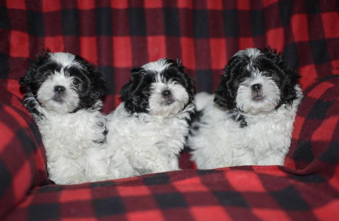 Teddy bear puppies for Sale in Hales Corners, Wisconsin