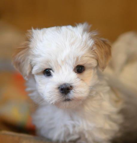 Teddy Bear Puppies male & female 9 1/2 weeks old for Sale in