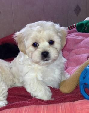 Teddy Bear Puppies-only 2 boys left!!!