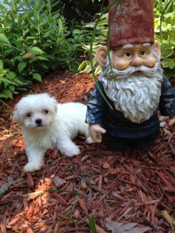 teddy bear puppies for sale in michigan teddy bear puppy female 10 weeks old for sale in jackson 7414