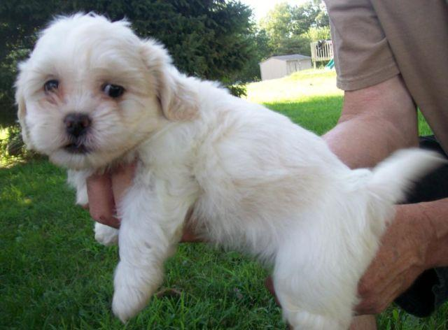 Pets And Animals For Sale In Nixa Missouri Puppy And Kitten