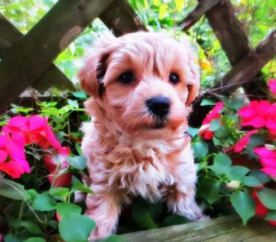 Teddy Bear type puppies