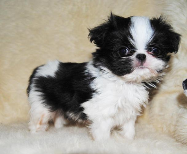 japanese chin shih tzu teeny alvin japanese chin shih tzu mix for sale in osakis 3556