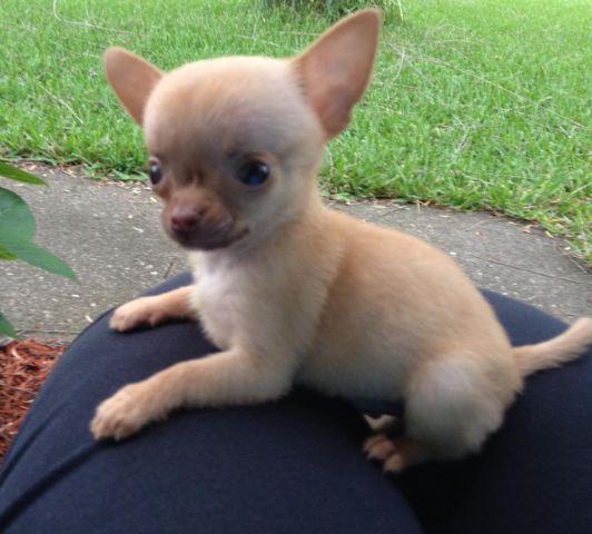 Teeny Applehead Chihuahua Pup