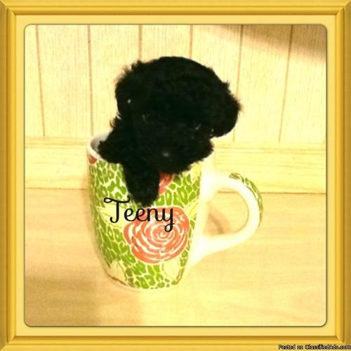 Teeny tiny poodle