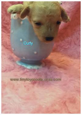 teeny tiny toy poodle white teacup