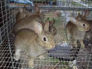 Tennessee Redback Rabbits Eli Whitney Graham For Sale