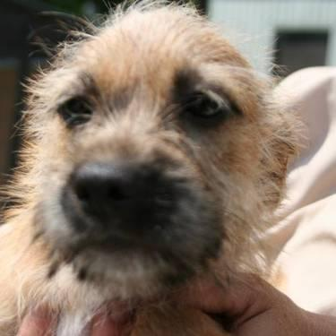 Terrier - Hadley - Small - Baby - Male - Dog