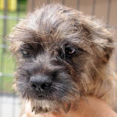 Terrier - Hagar - Small - Baby - Male - Dog