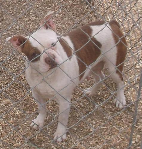 boston terrier rescue missouri terry boston terrier adult adoption rescue for sale in 3107