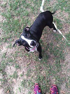 Tessa American Staffordshire Terrier Adult Female