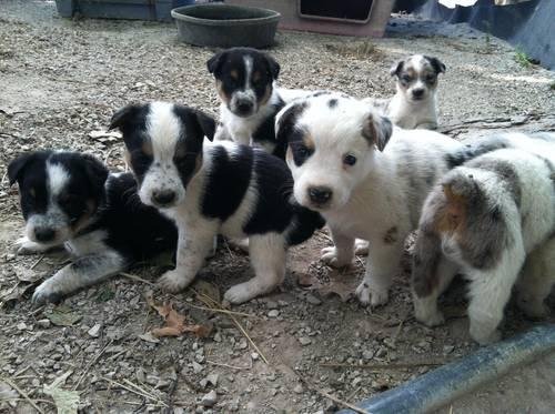 texas heeler puppies for sale in arthur indiana