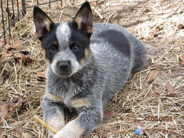Pin Miniature-blue-heeler-puppies-for-sale-in-texas on ...
