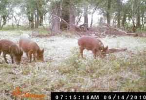 Texas Hill Country Hog Hunting - $50 (Doss)