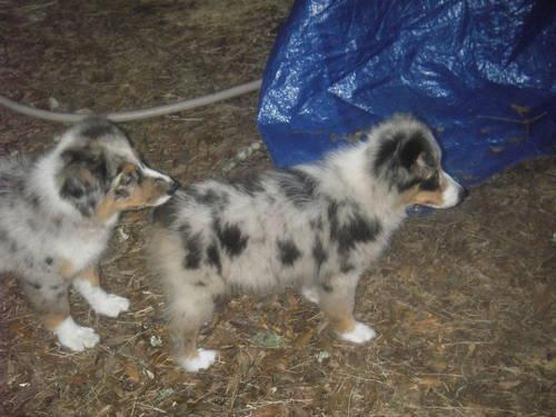 The BEST temperment!Small australian shepherd BLUE MALE