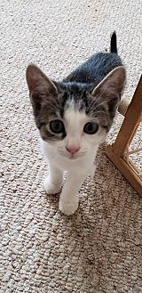 THE 'G' LITER - KITTEN GRACILYNN Domestic Shorthair