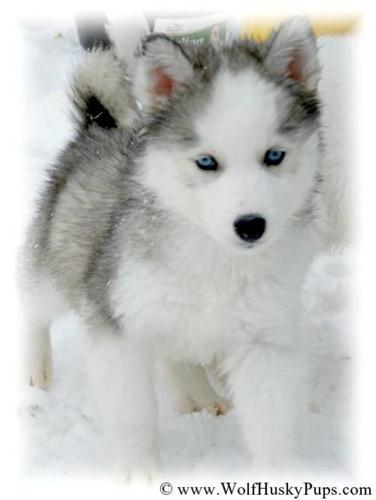 The Most Beautiful Hybrid Puppies For Sale In Sacramento California