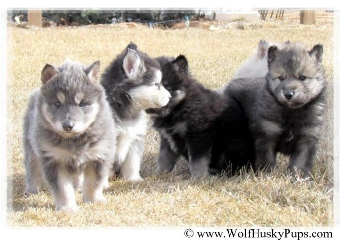 The Most Unique & Beautiful Wolf Dog Puppy