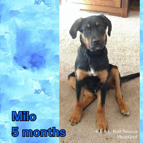 The Three Muskateers Milo Max Marley Rottweiler Baby Adoption