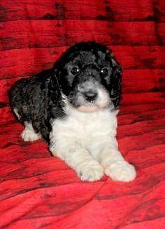There Here Parti Colored Goldendoodle Puppies For Sale In