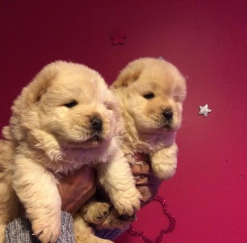 88+ Chow Chow Puppies For Sale Craigslist - l2sanpiero