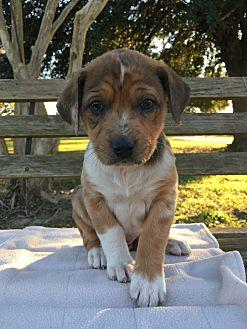 Thetis Catahoula Leopard Dog Puppy Female