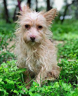 THOMAS Cairn Terrier Young Male