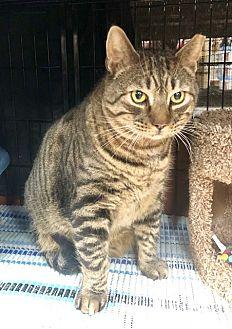 Thomas Domestic Shorthair Adult Male