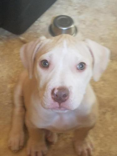 Thor Pit Bull Terrier Baby - Adoption, Rescue