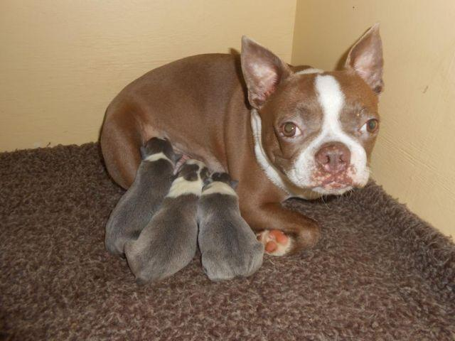 Three Adorable Boston Terrier Pups For Sale In Raleigh North