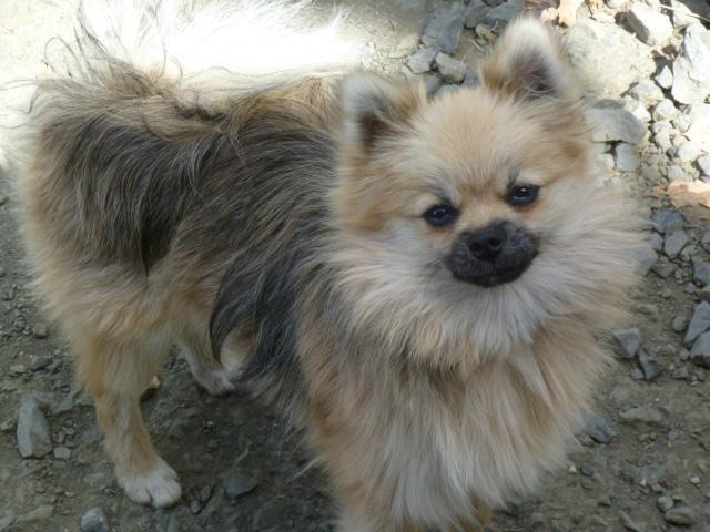 purebred pomeranian puppies three purebred pomeranian puppies for sale in riddle 7287