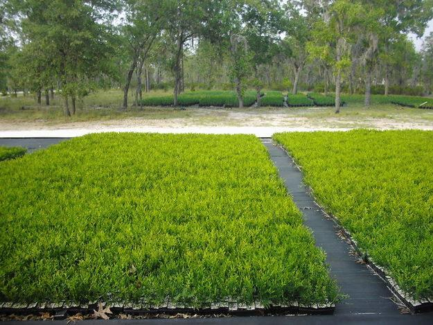 Thuja 'Green Gaint' arborvitae 6