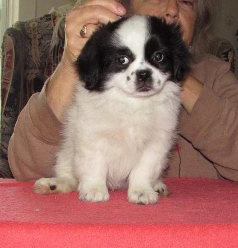Tibetan Spaniel Puppy For Sale Adoption Rescue For Sale In