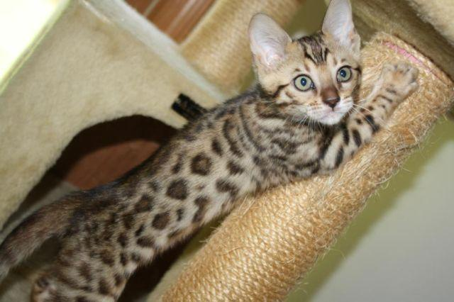 tica adorable bengal female kitten for sale in ware