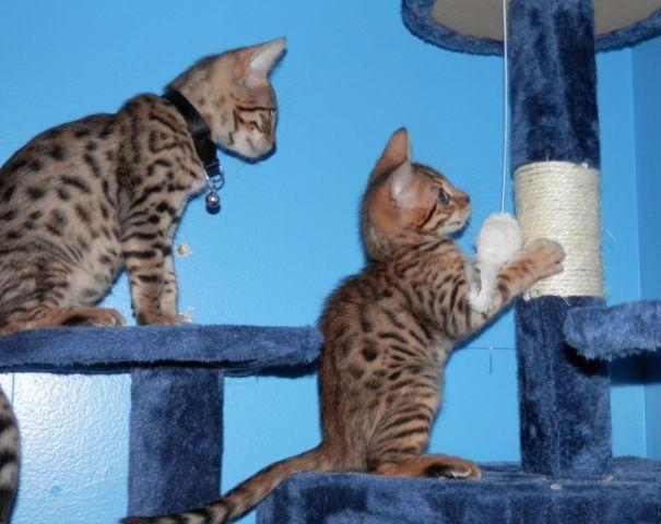 Bengal Cat Breeding Rights