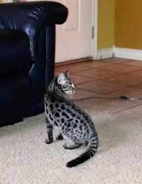 TICA Purebred F1 Bengal Cat