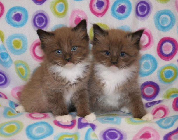 at americanlisted xl ne cheetoh animals on have lincoln pets sale arrived price today half rare kittens