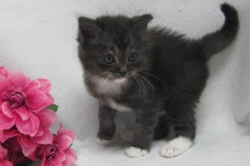 tica ragdoll rare black and white solid lynx onyx on hold for sale