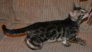 TICA reg bengal kitten Female