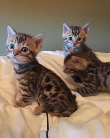 Tica Reg Bengal Kittens For Sale Top Quality 8 Weeks Old For Sale In Rockford Illinois