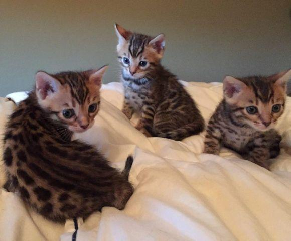 TICA Reg. Bengal Kittens For Sale! Top Quality!! for Sale ...