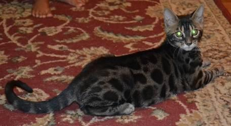 TICA REG BENGAL (new Price)