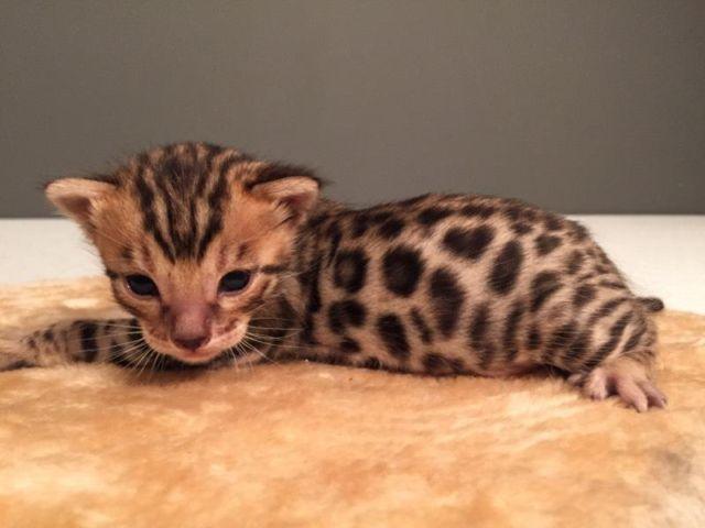 TICA registered Bengal kittens for Sale in Uniontown, Ohio Classified ...