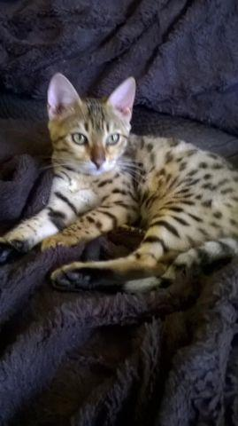 TICA Registered Bengal Kittens and cats