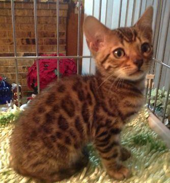 Bengal Kittens For Sale by Reputable Breeders - pets4you.com