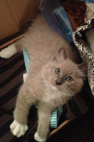 TICA Registered Gorgeous Male Ragdoll Kitten!